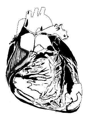 Das Herz in der Osteopathie